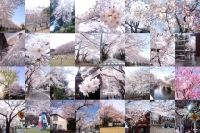 さくら2008写真(1024).jpg