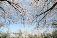 見上げたら桜.jpg
