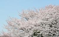 090403お花見01.jpg