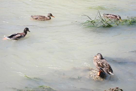 43_鴨川のカモたち
