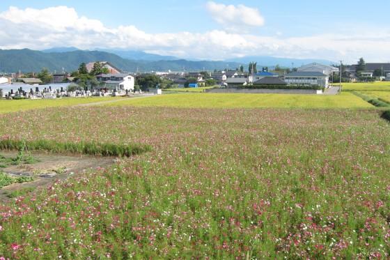 51_赤、白、ピンクのコスモス畑