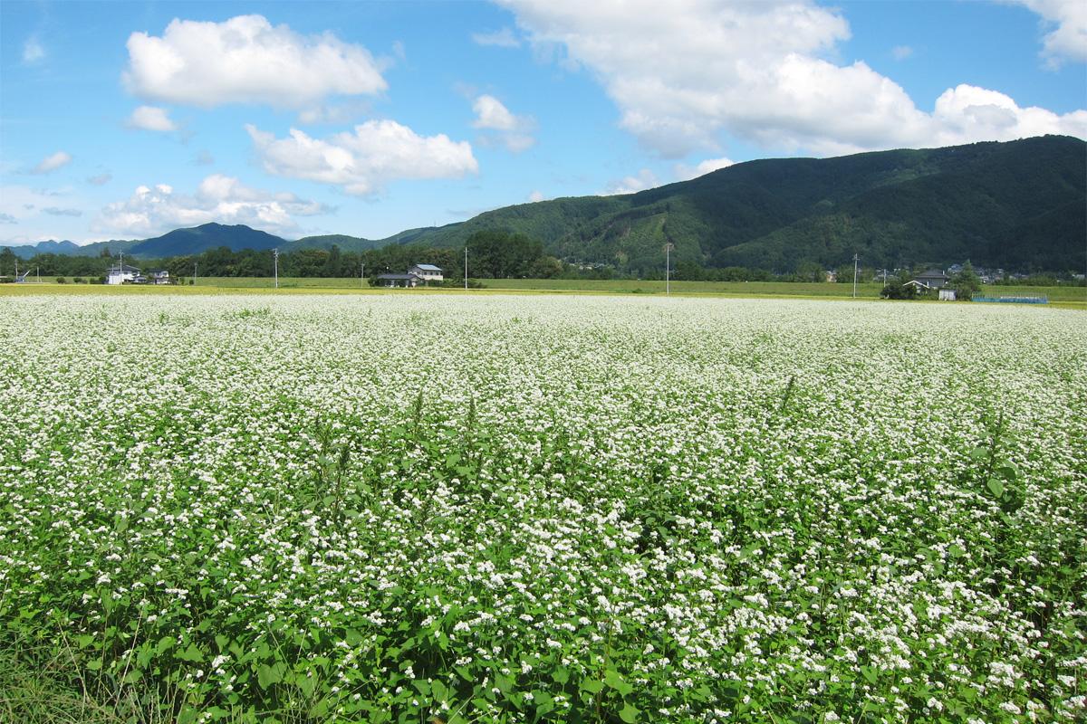 30_蕎麦の花と山と雲