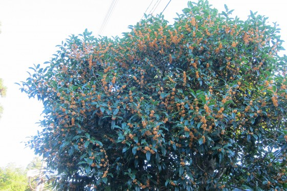 29_すごいキンモクセイの木とその香り