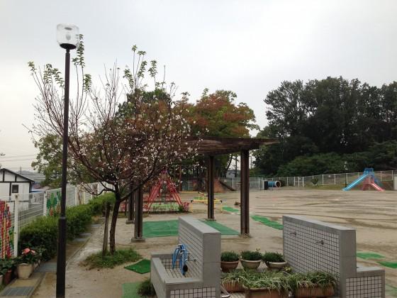 10_雨は降ってきてしまいましたが秋に咲くサクラがキレイでした