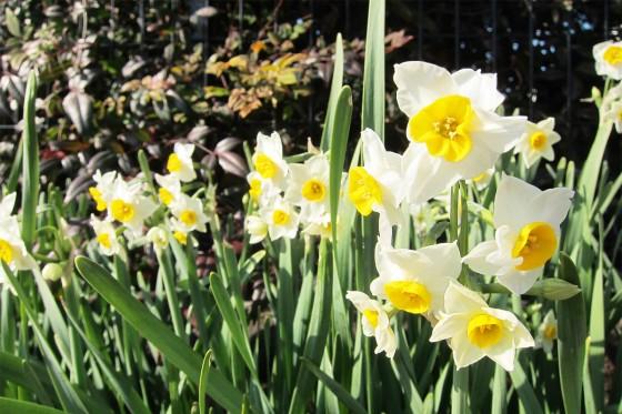 2014_01_21-15水仙の花が咲いている