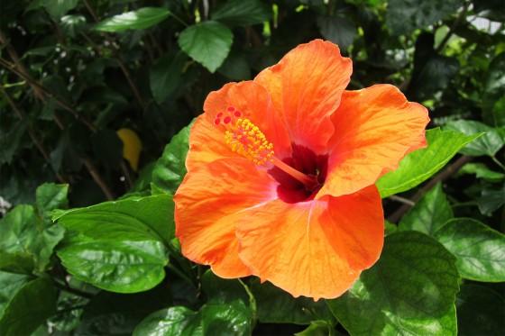 10_ハイビスカスが鮮やかに咲いていました
