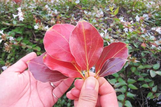 85_赤い葉