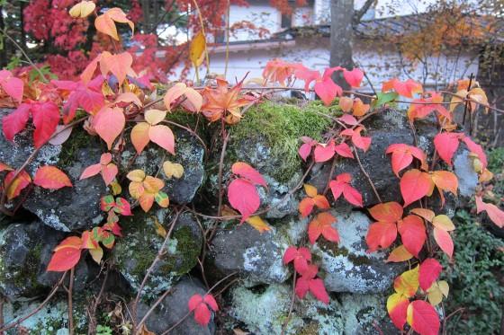 43_蔦の紅葉もキレイ