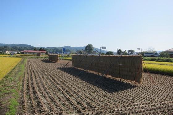 65_稲刈りが始まっています