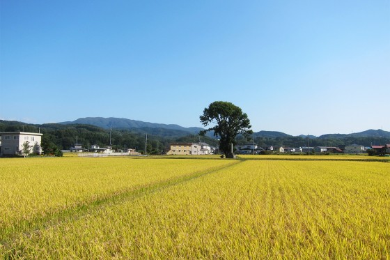 66_青い空と金の稲穂