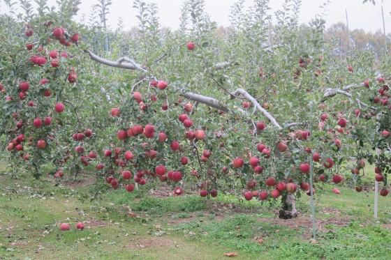 24_リンゴが重くて木がしんどそう