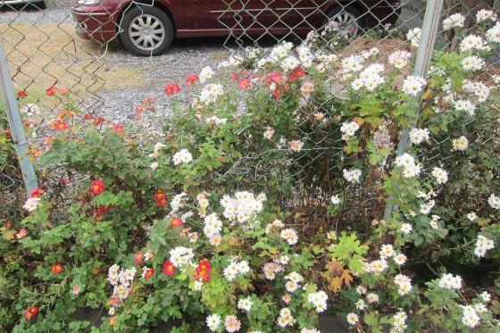 06_金網を破いて育つお花