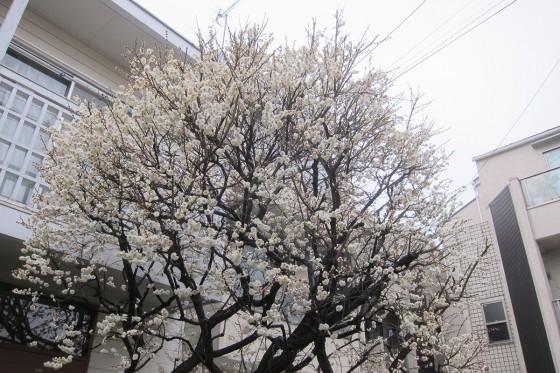 01_梅が咲きましたねぇ
