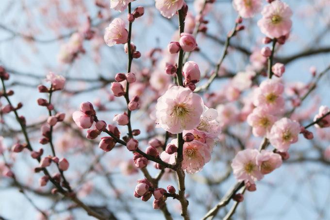 62_水戸・偕楽園の梅まつり2015_02
