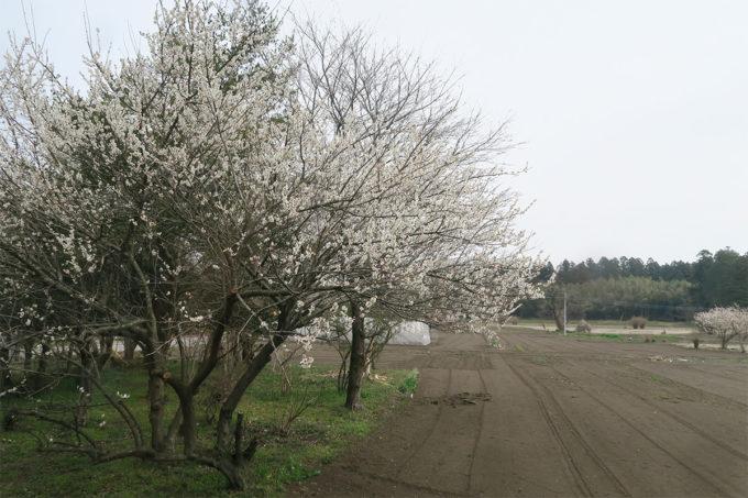 23_真岡線沿線の桜