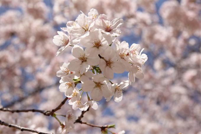 鷺沼お花見ピクニック20150331-21