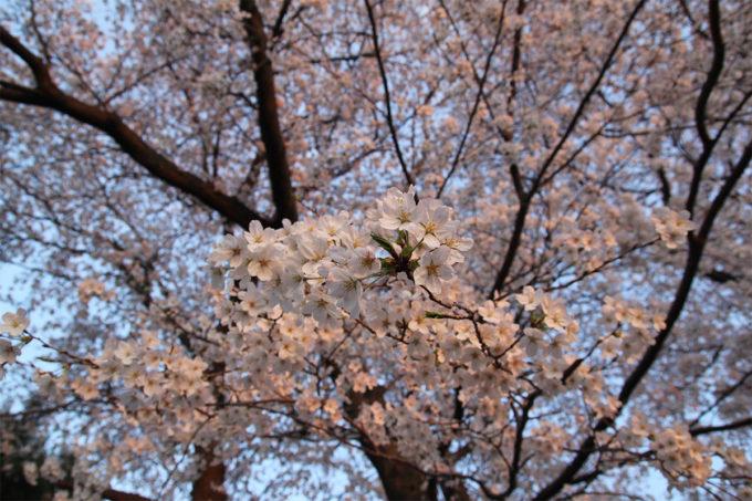 鷺沼お花見ピクニック2015-37