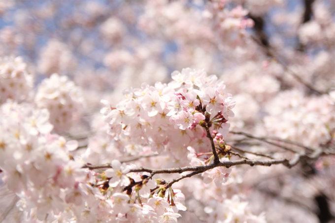 鷺沼お花見ピクニック2015-17