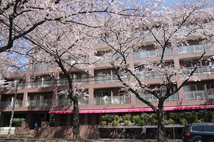 鷺沼お花見ピクニック20150331-04