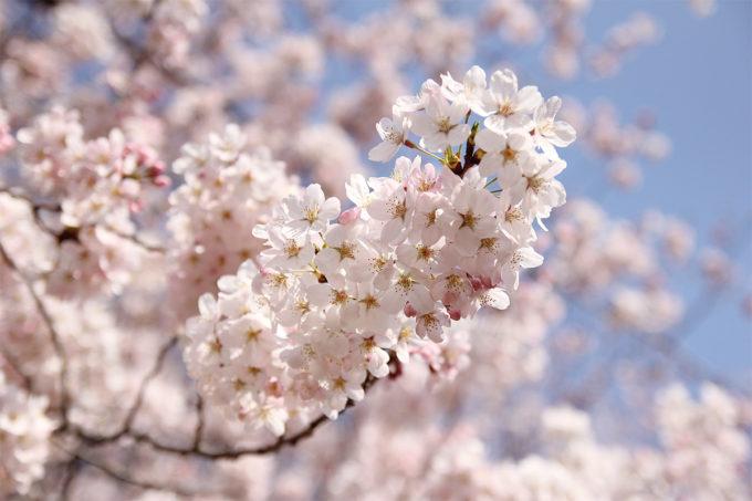 鷺沼お花見ピクニック2015-19