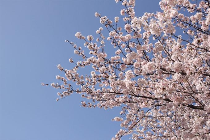 鷺沼お花見ピクニック20150331-29