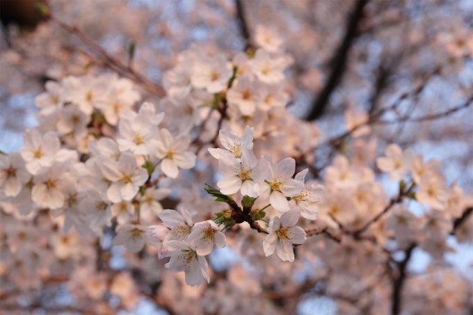 鷺沼お花見ピクニック2015-36