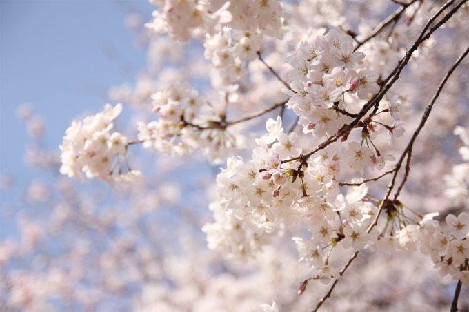 鷺沼お花見ピクニック2015-12