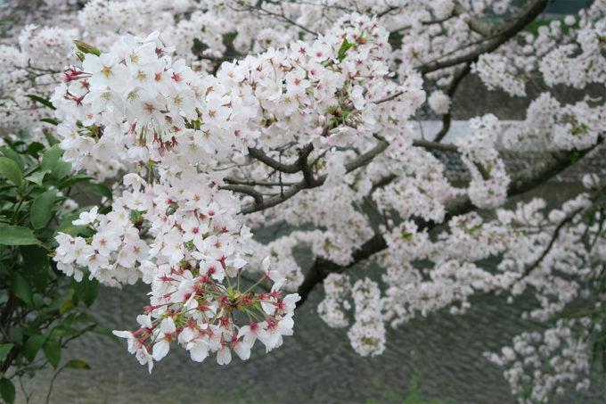52_ああキレイだった桜