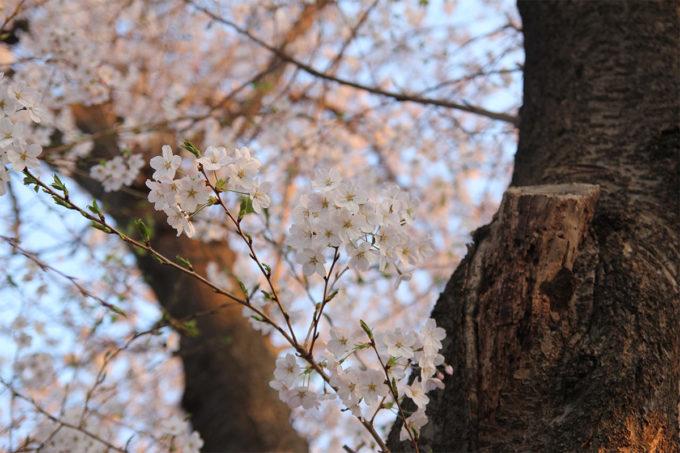 鷺沼お花見ピクニック2015-29