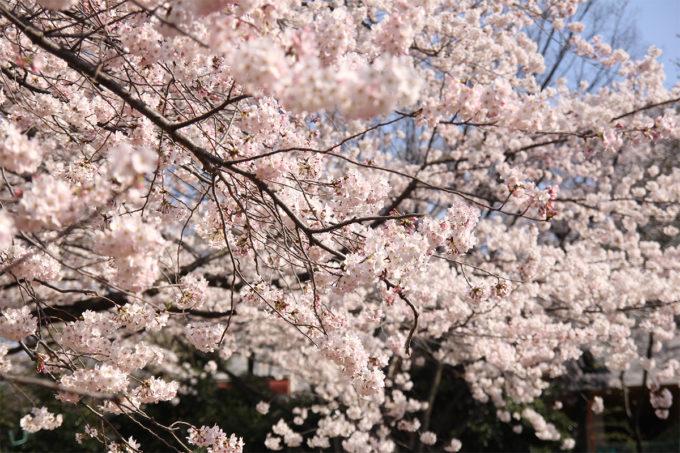 鷺沼お花見ピクニック2015-18
