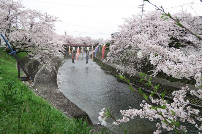 49_川に鯉のぼりと桜1