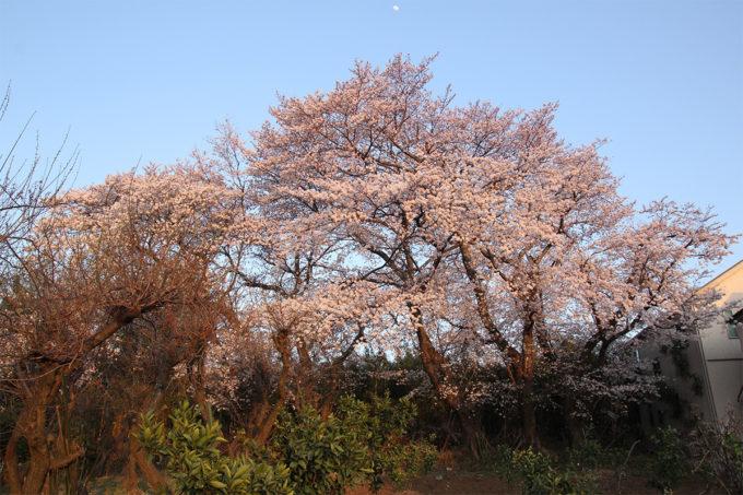 鷺沼お花見ピクニック2015-28