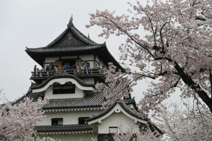 39_国宝犬山城と桜