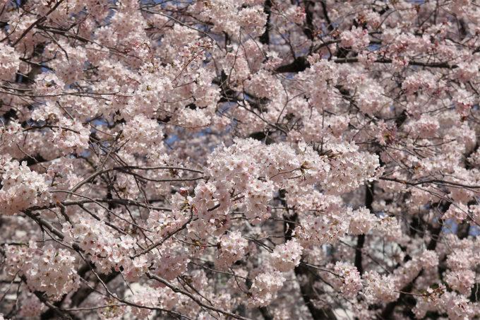 鷺沼お花見ピクニック20150331-22