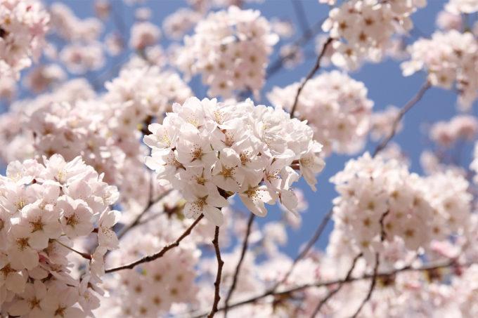 鷺沼お花見ピクニック20150331-25