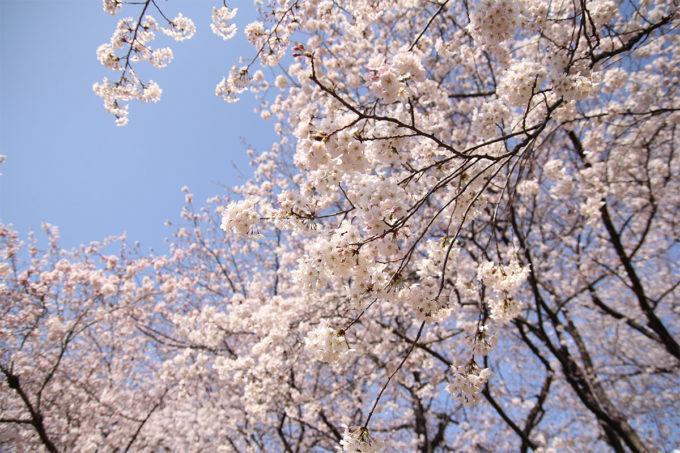 鷺沼お花見ピクニック2015-13