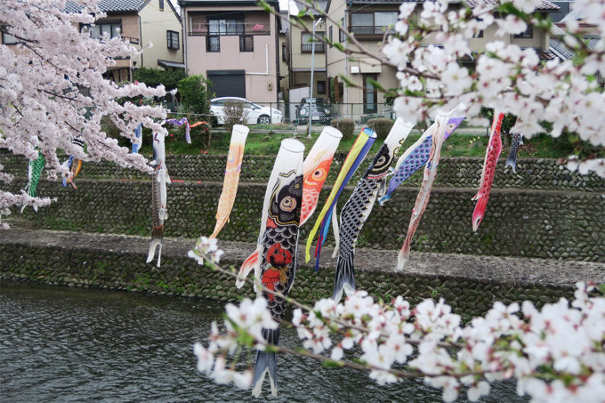 51_川に鯉のぼりと桜3