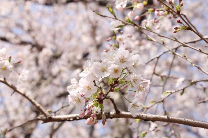 鷺沼お花見ピクニック2015-04