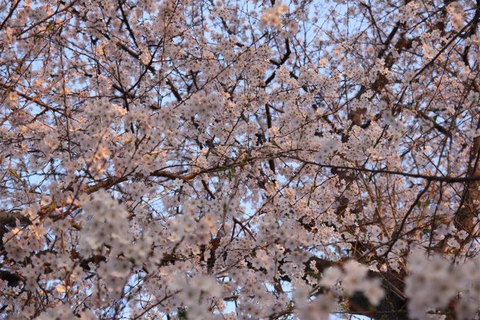 鷺沼お花見ピクニック2015-30