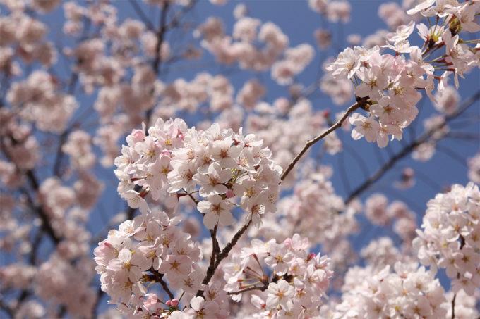 鷺沼お花見ピクニック20150331-32