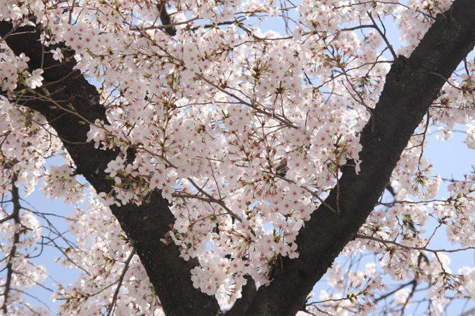 鷺沼お花見ピクニック20150331-06