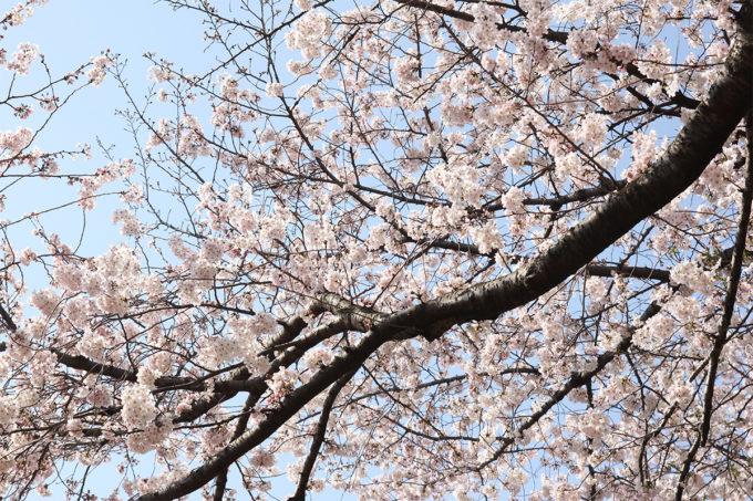 鷺沼お花見ピクニック2015-06