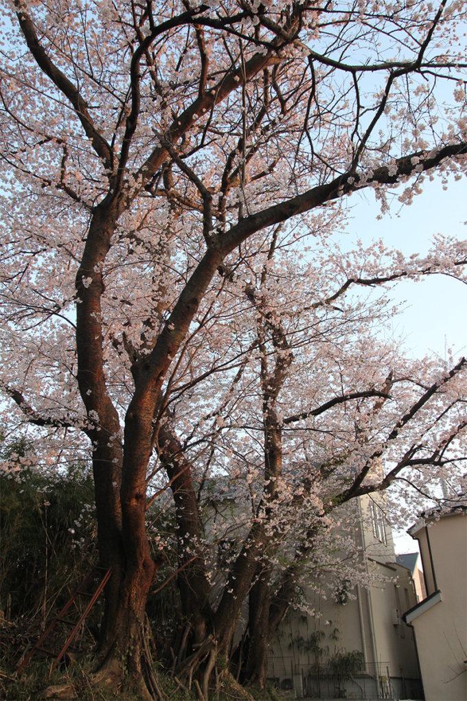 鷺沼お花見ピクニック2015-38