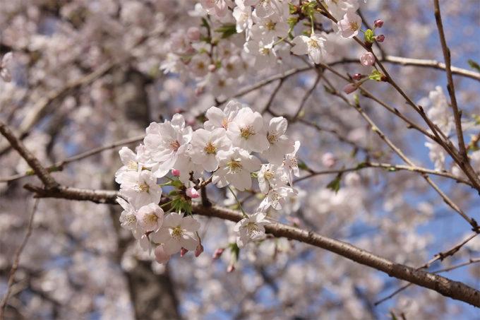 鷺沼お花見ピクニック20150331-24
