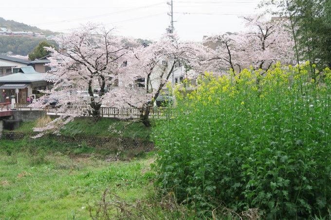 41_サクラと菜の花