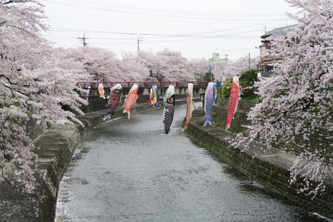 50_川に鯉のぼりと桜2