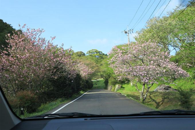 30_八重桜の道