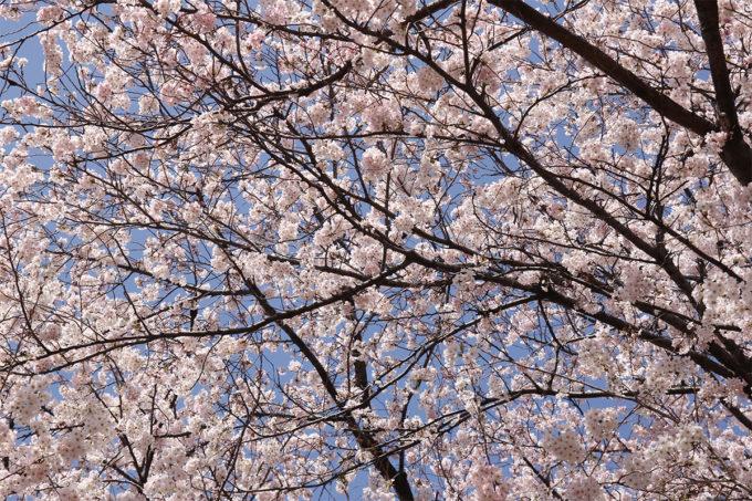 鷺沼お花見ピクニック20150331-20