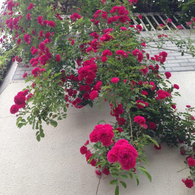 01_近所の美しいお花