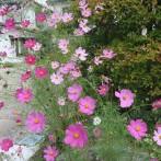 17_ピンクのコスモス